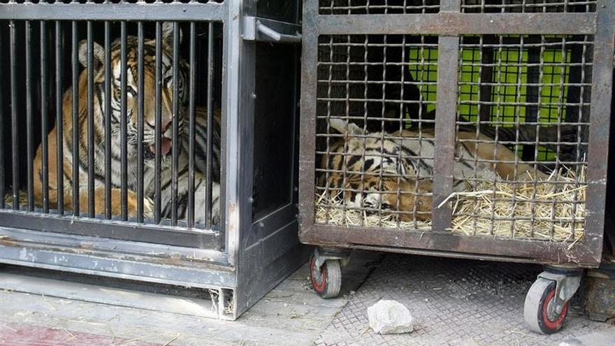 Un circo dona un león y siete tigres y promete no usar más animales salvajes