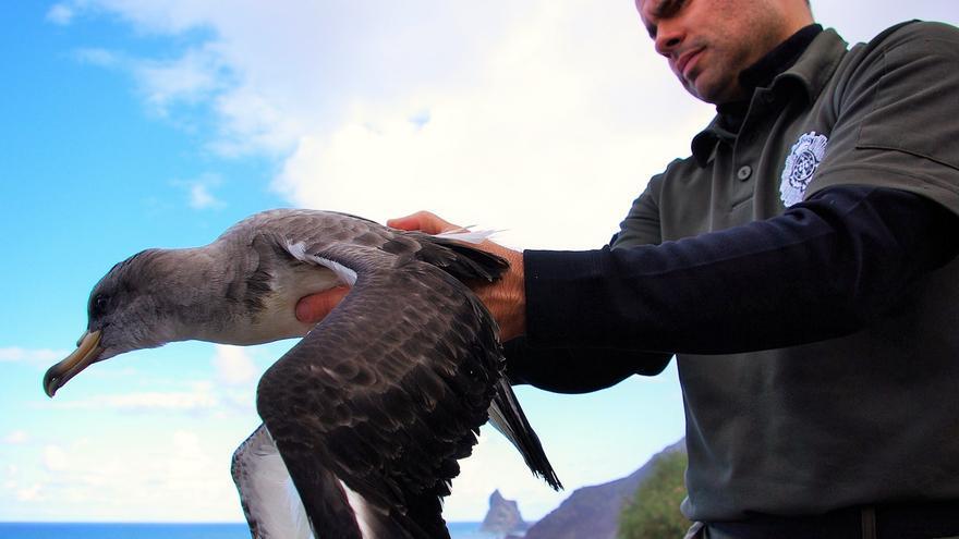 Un agente forestal muestra un ejemplar de pardela, en Anaga