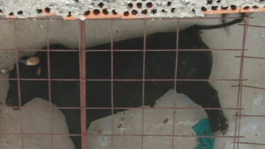 El toro sacrificado tras el encierrro de Yuncos / Twitter Equo