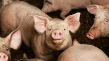 Aragón se consolida como la comunidad que mayor cabaña porcina soporta.