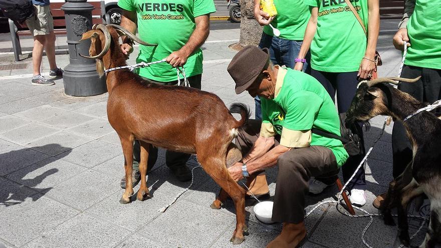 Representantes de El Partido Verde ordeñan varias cabras en Las Palmas de Gran Canaria. (Canarias Ahora).