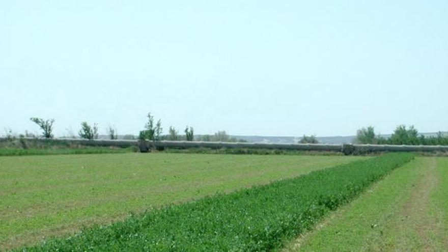 Franja de alfalfa para actuar como refugio. Foto:Aragón hoy