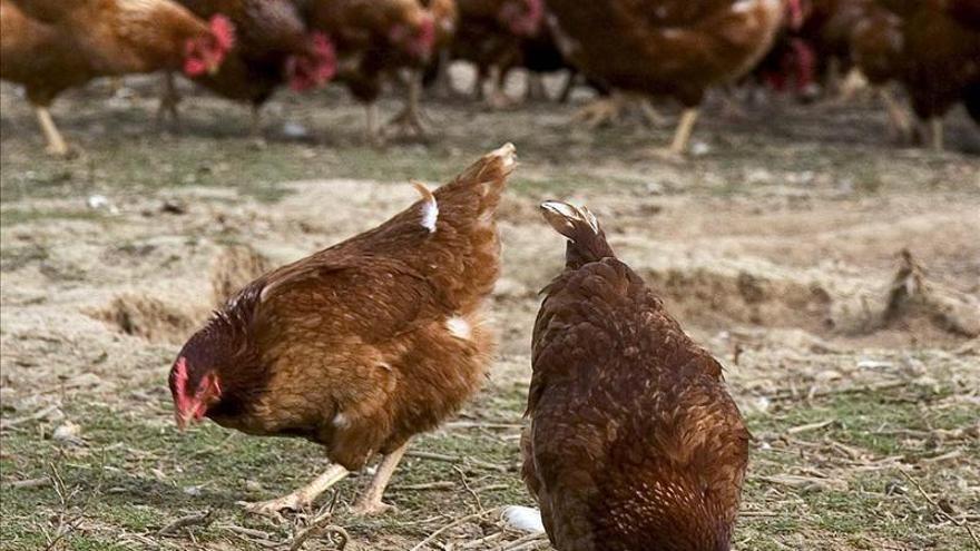 Detectado un brote de gripe aviar en una granja de gallinas de Cataluña