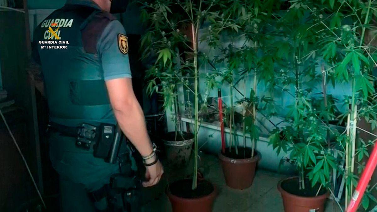 Plantación de marihuana desmantelada en Doña Mencía.