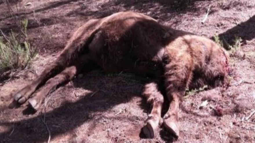 Uno de los bisontes de la Reserva de Valdeserrillas