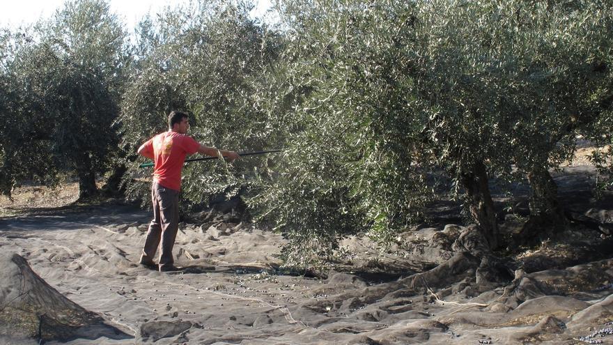 La recolección de aceituna de mesa alcanza casi las 562.000 toneladas y la del aceite de oliva sube un 67%