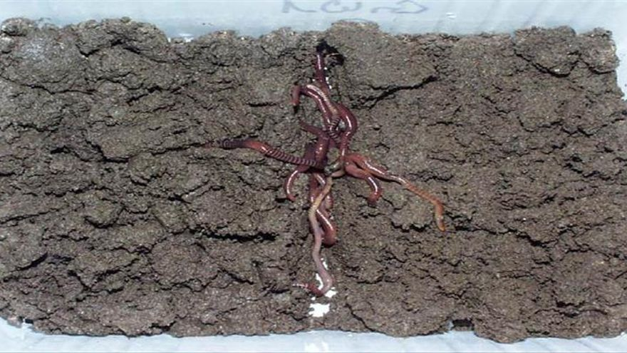 Un estudio demuestra que las lombrices podrían ayudar a limpiar suelos con lindano