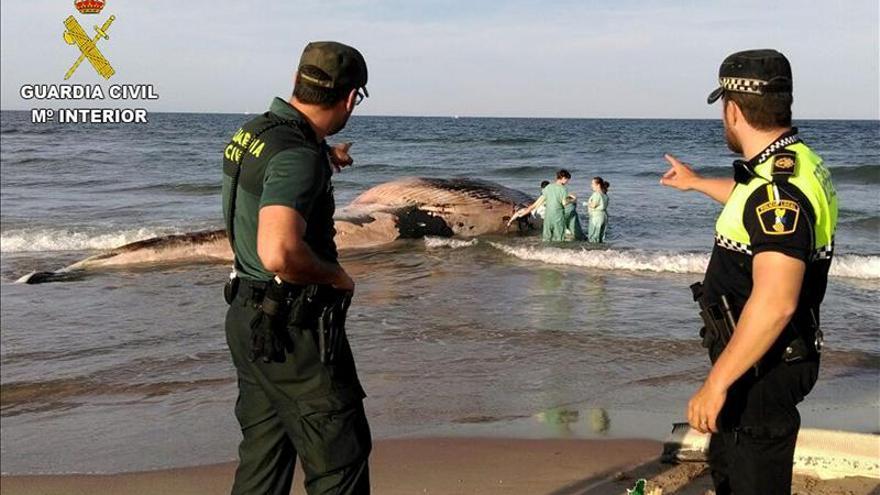 Hallada muerta una ballena de seis toneladas en una playa de Cullera