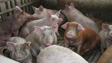 La cabaña porcina lleva cinco años creciendo a un ritmo de 6.000 cabezas semanales en Aragón