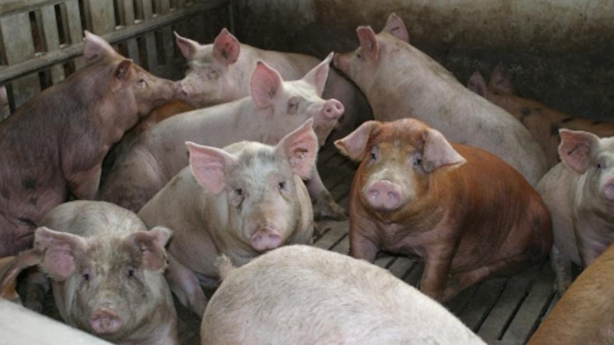 Cerdos en una granja de engorde.