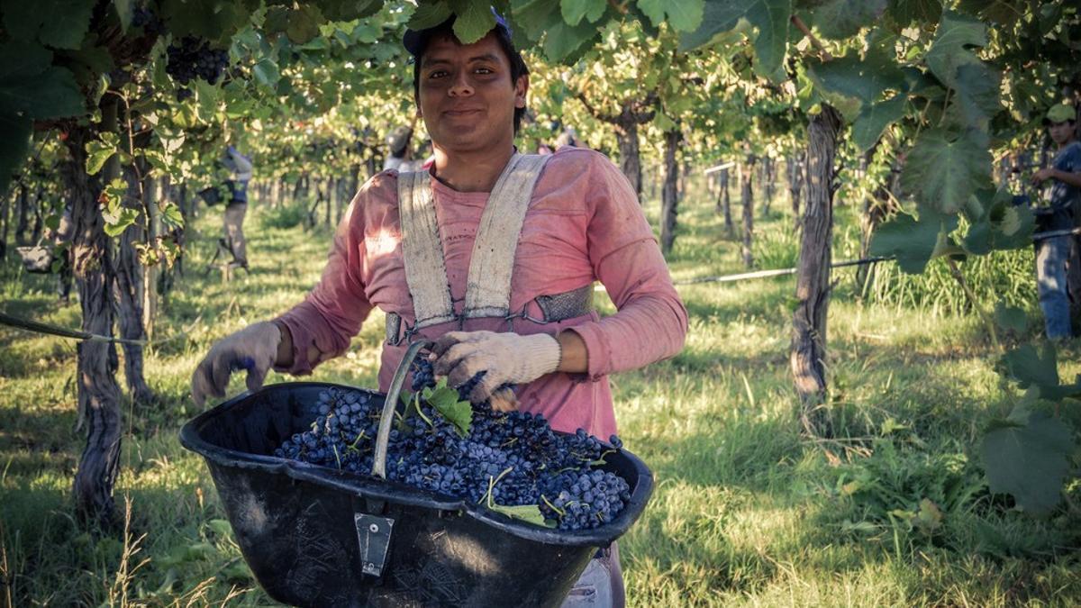 La cosecha de uvas Malbec, uno de los momentos más esperados en la cooperativa La Riojana, que elabora vinos y aceites orgánicos con certificado de comercio justo