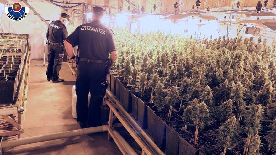 Agentes de la Ertzaintza en una plantación de marihuana en Tolosa (Gipuzkoa)