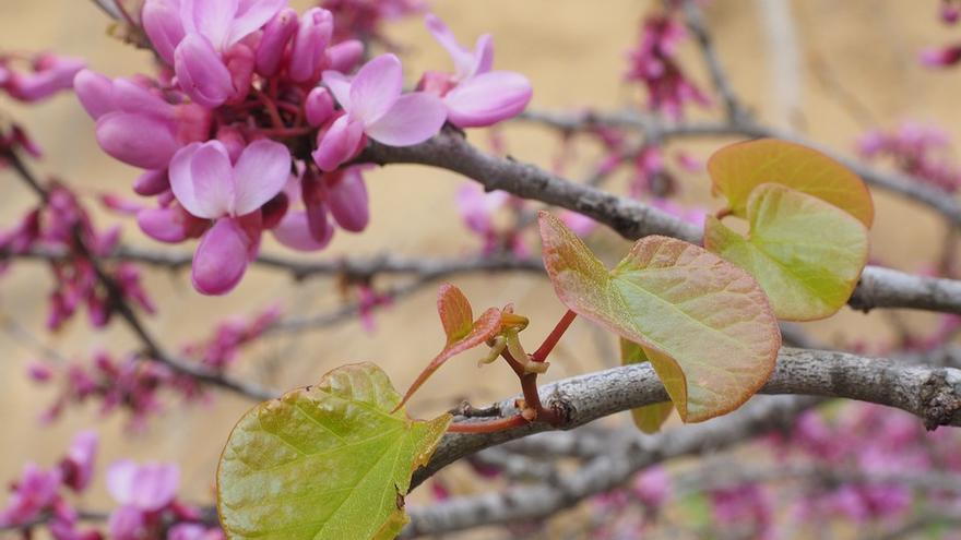 Árbol del amor, Cercis sillcuastrum (Fabaceae).