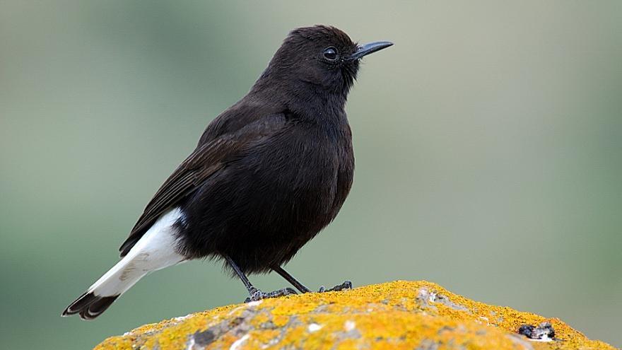 La collalba negra es una especie sedentaria.