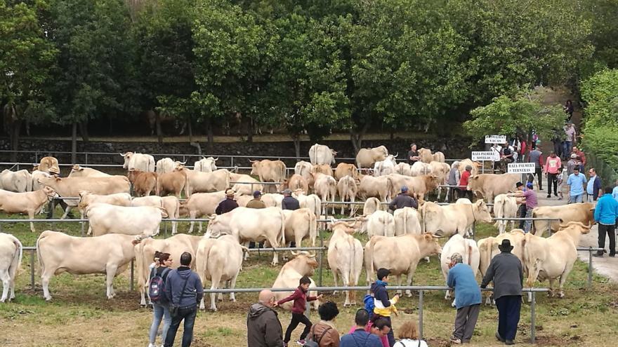 El mejor ganado de La Palma se muestra este sábado en Breña Alta.