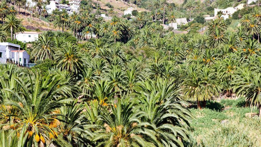 Los palmerales ocupan gran parte de Valle Gran Rey. VIAJAR AHORA