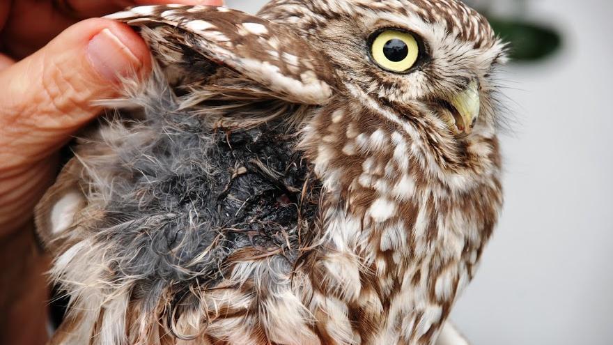 Mochuelo herido de un disparo / Ecologistas en Acción
