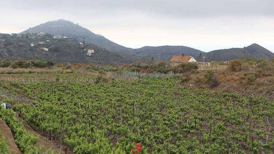 Cultivo de viñedos en Arucas.