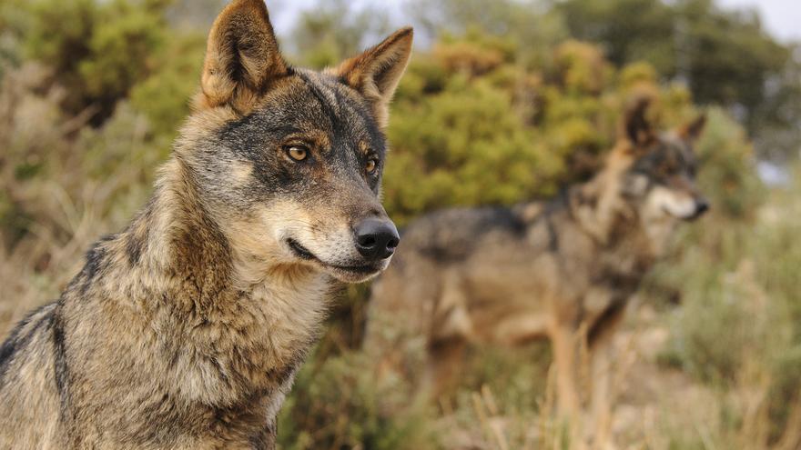 El lobo ibérico está totalmente protegido al sur del Duero, por ahora. / Ana Retamero, EA.