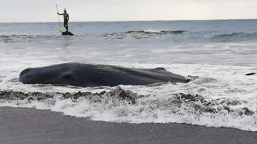 Cachalote varado en la Playa de Melenara.