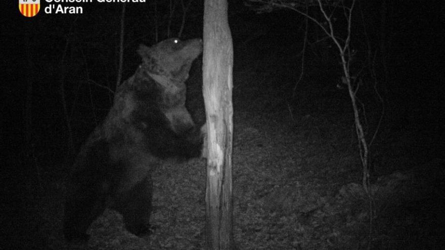 El oso Goiat, procedente de Eslovenia, fue soltado en el Pirineo en 2016.