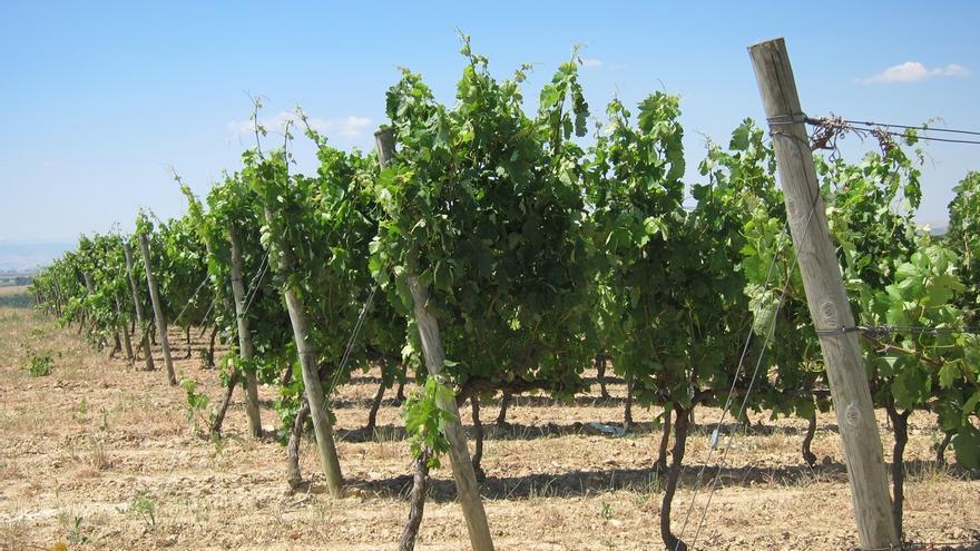 La cosecha de uva sufrirá un descenso de hasta el 30% por la sequía y el granizo, según AVA