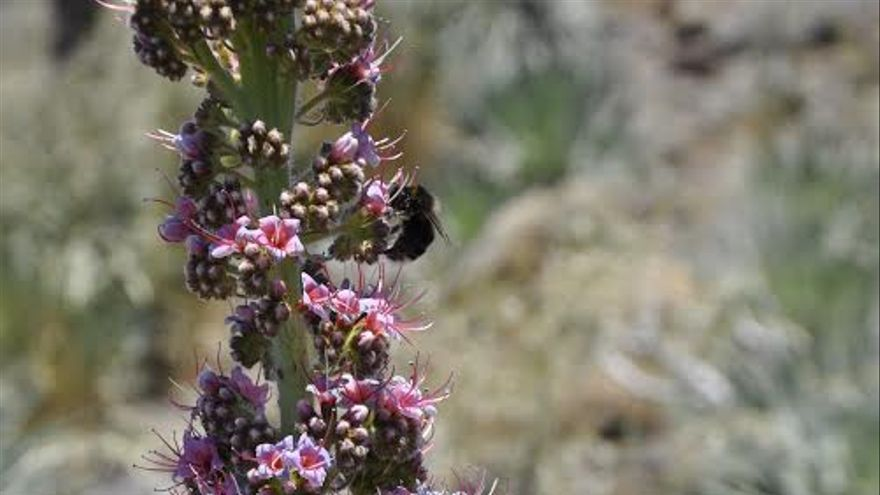 Detalle de un ápice de tajinaste rosado con abejorros. Foto: Ángel Palomares.