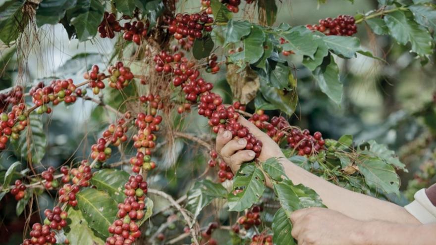 Cosecha de café en El Salvador