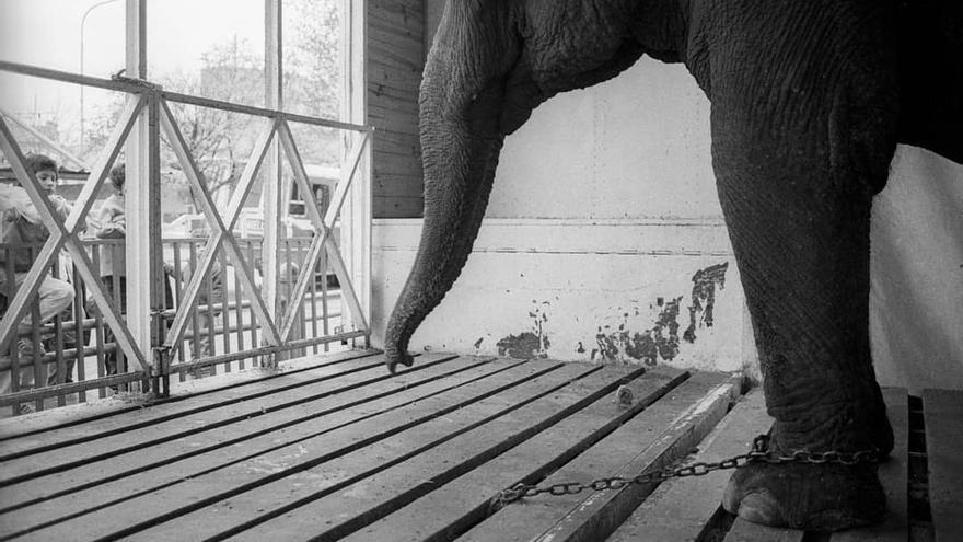 Tras 25 años explotada en circos, Mara fue vendida a un zoológico, en el que pasó otros 25 años confinada