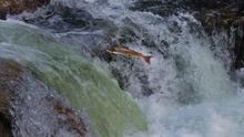 Un salmón remonta el río Bidasoa