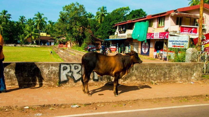 Los hindúes veneran a las vacas porque son consideradas una fuente altruista de alimento y la encarnación del principio hindú de la no violencia
