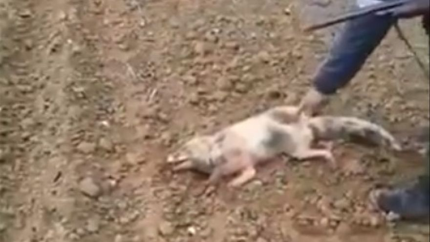 Captura de pantalla del vídeo viral del maltrato al zorro.