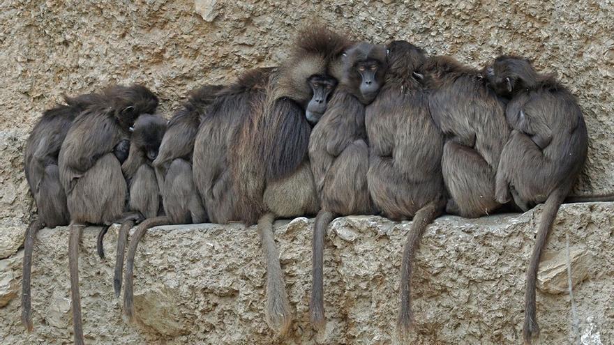 Monos acurrucados para darse calor. (DP).