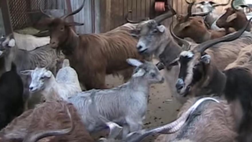 Imagen captada del vídeo 'Cabras de la Isla de La Palma'.