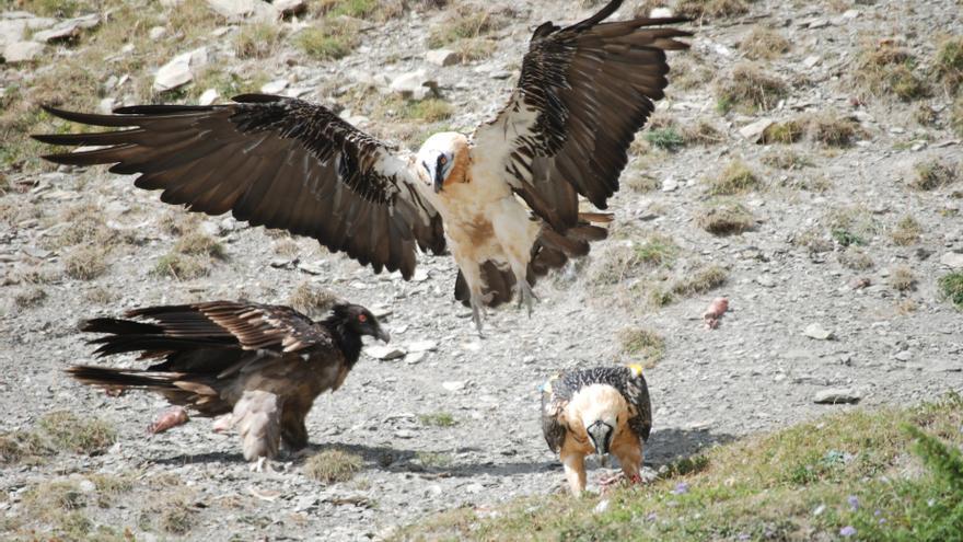 Los montes de Huesca acogen a casi dos tercios de los quebrantahuesos localizados en España.