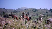 Cabras palmeras en pastoreo.