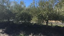 Andalucía declara la cuarentena por el 'virus del ébola del olivo'