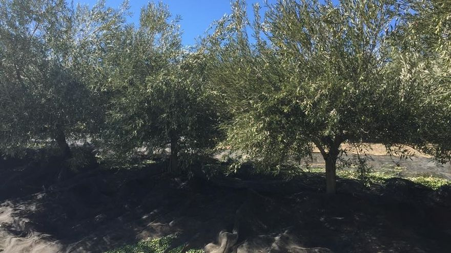 Preocupación en Asaja por la detección en Madrid de un olivo afectado por la bacteria Xylella