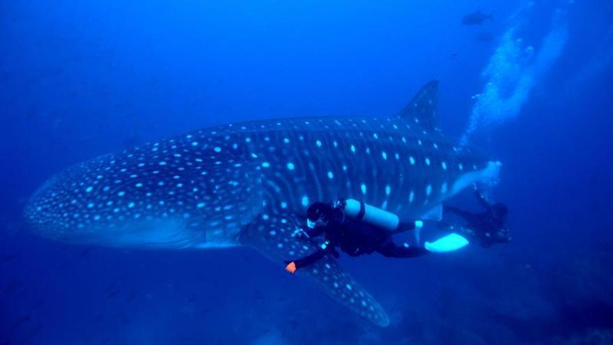 Realizan en Galápagos un ultrasonido a tiburones ballena en estado salvaje