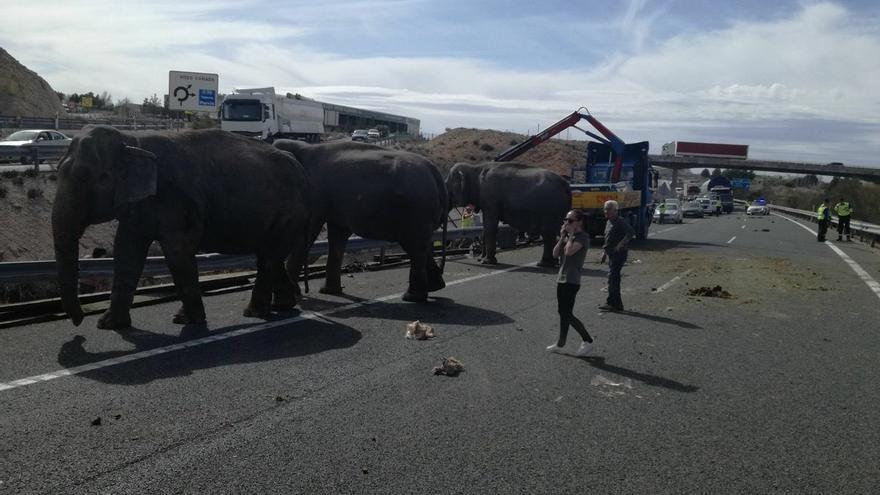 Elefantes sueltos en mitad de la A-30 a su paso por Pozo Cañada (Albacete)