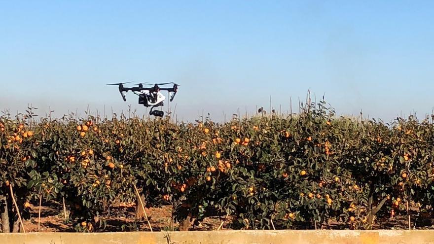 Imagen del dron de Algemesí sobrevolando naranjos