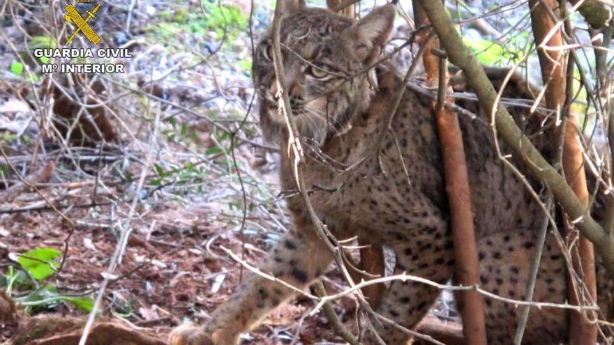 Un nuevo atropello a un lince en Algallarín (Córdoba) eleva a 17 los ejemplares muertos por esta causa en 2014