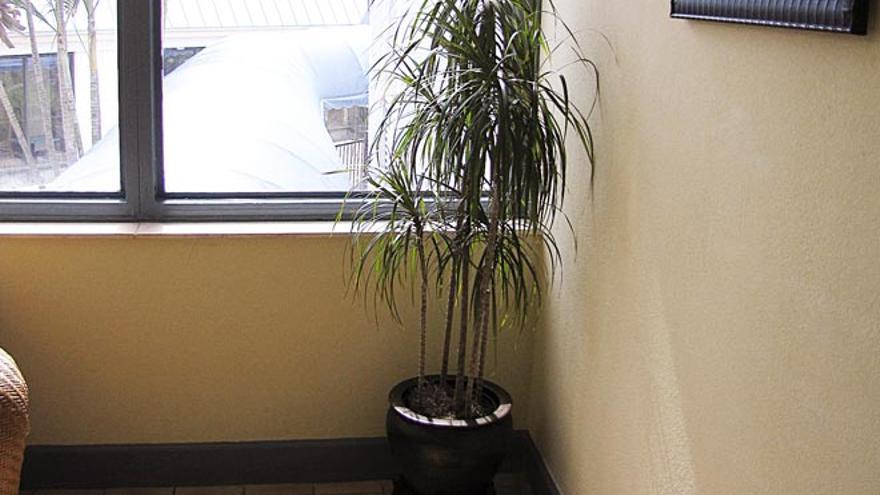 Dracaena marginata, por Forest and Kim Starr