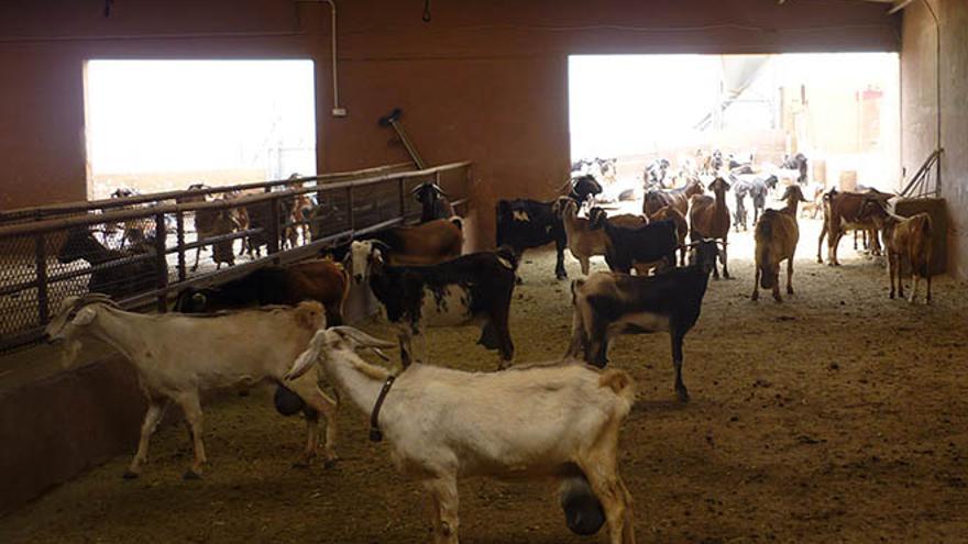 Cabras Majoreras
