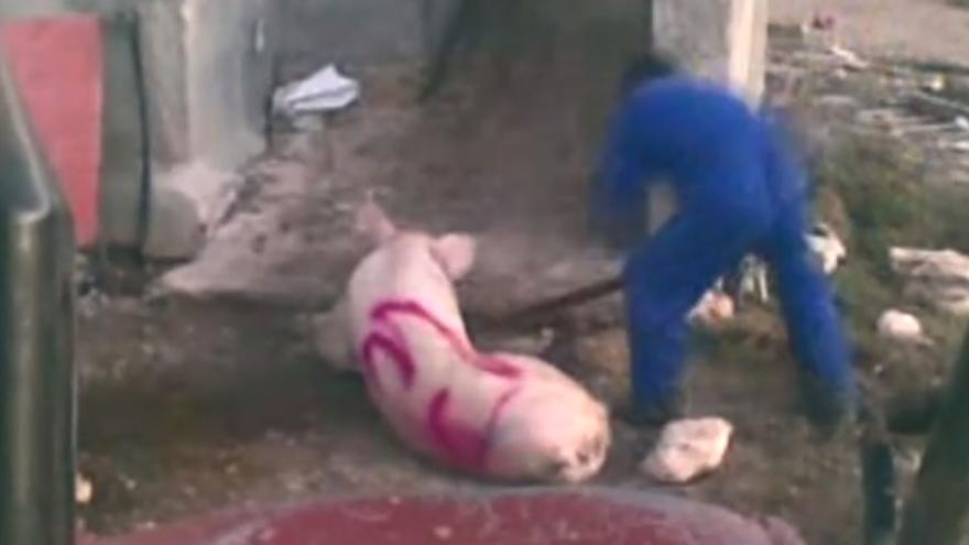 Imágenes del maltrato al que se sometía a los cerdos en la explotación ganadera de El Escobar.