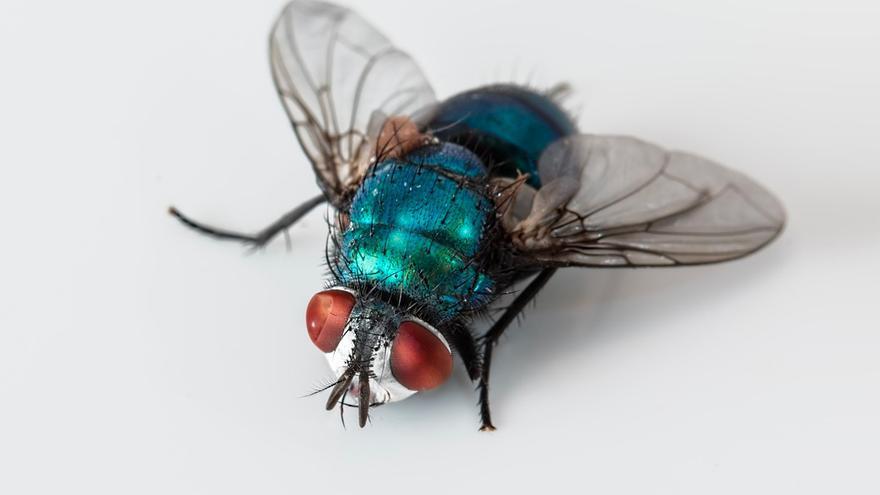 Un ejemplar de moscarda azul.