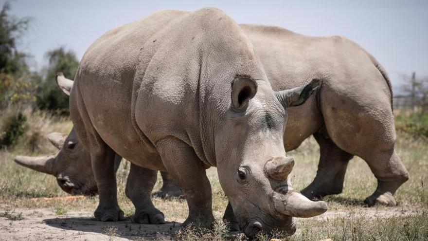 Los rinocerontes, en riesgo de extinguirse en Botsuana en 3 años por la caza