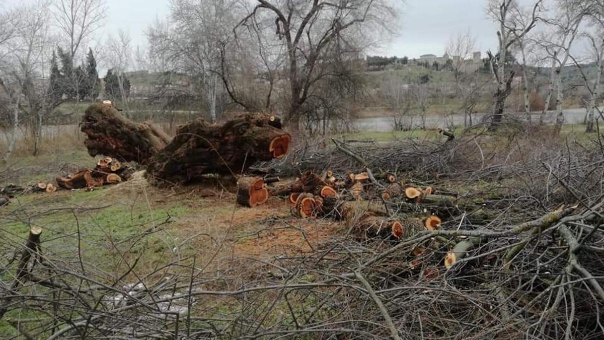 La tala parcial que sufrió el Taray de Safont
