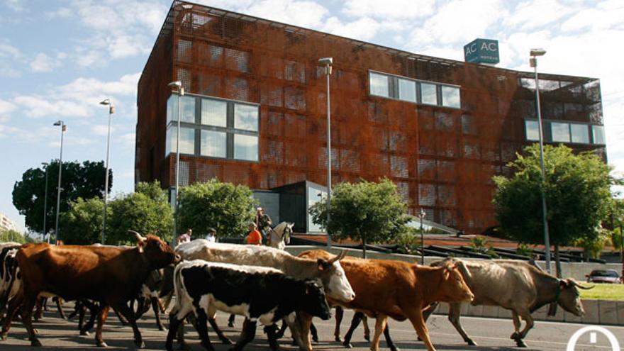Un grupo de vacas trashumantes pasa por el centro de Córdoba. | MADERO CUBERO