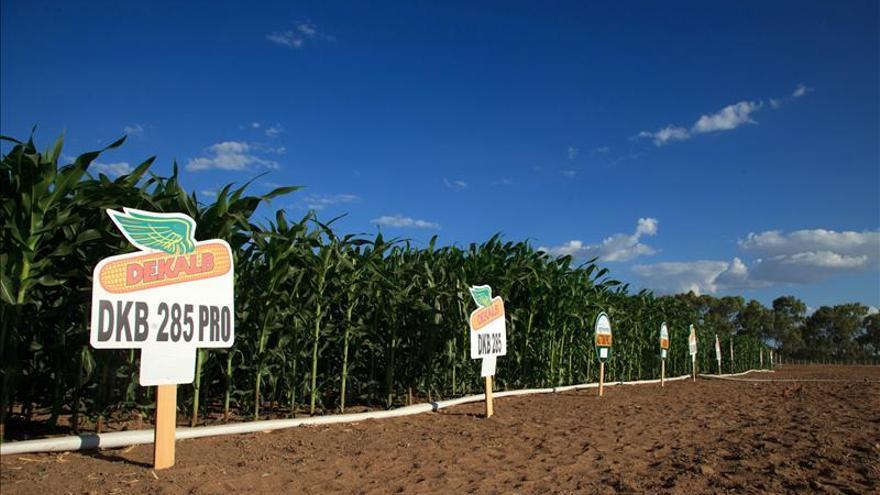 Campo de maíz en Petrolina, en el estado brasileño de Pernambuco. Monsanto inaugura una unidad de biotecnología en el nordeste de Brasil. / Efe